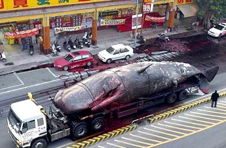 Умершего кита везут в тайваньскую лабораторию. По дороге взорвался.